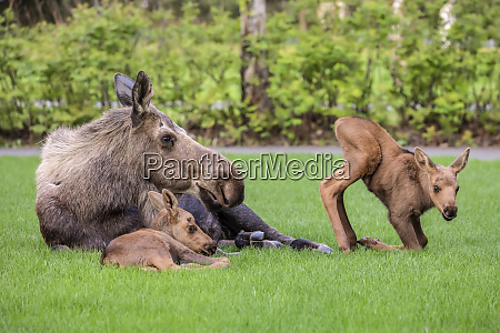 cow moose alces alces with calves