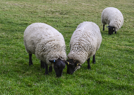 black faced sheep eating grass in