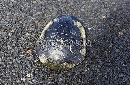 freshwater common snake necked turtle
