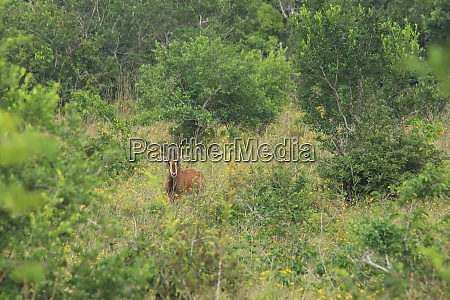 sable antelope in shimba hills national