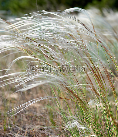 steppe feather grass selective focus