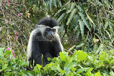 angolan colobus monkey eats leaves