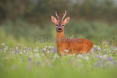 roe deer buck in summer between