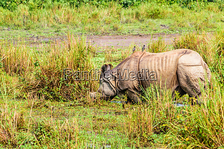 juvenile greater one horned rhino rhinoceros