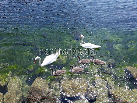 swan familiy on a lake
