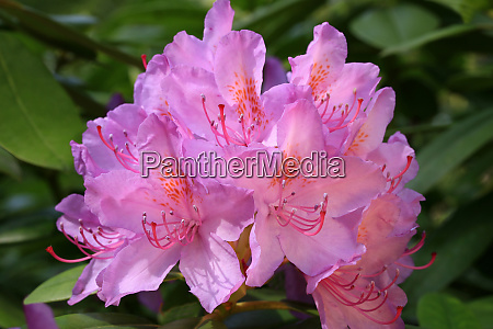 rhododendron pink inflorescence