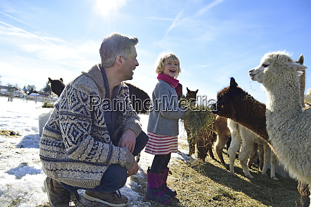happy father and daughter feeding alpacas