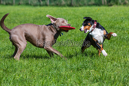 two pet dogs play together