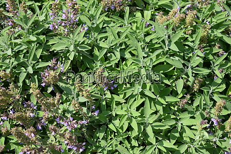 sage in bloom in the province