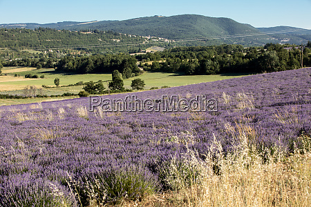 lavender field in provence near sault