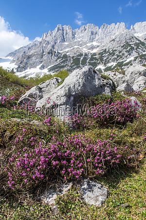 flower at the wilder kaiser mountain
