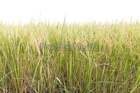rice fields in the tropics on
