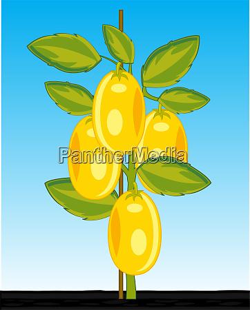 bush ripe tomato sort yellow in