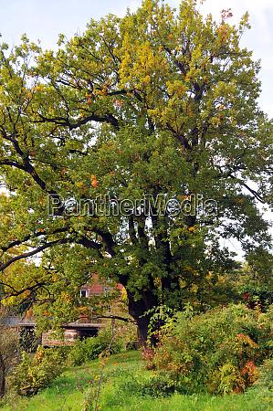 old oak in hannover