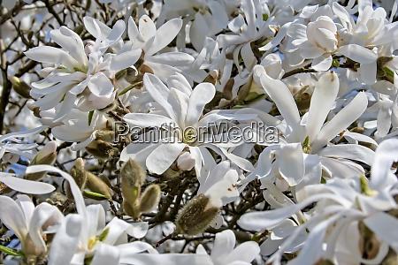 close up of beautiful star magnolia