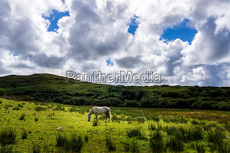 white horse eating grass on