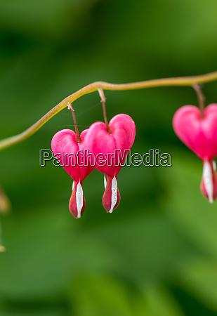 heart shaped bleeding heart flower in