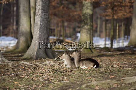 two young roe deer in snowy