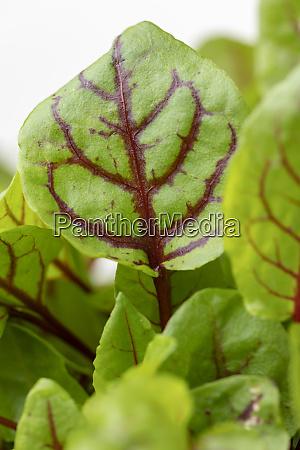 closeup of a sorrel plant