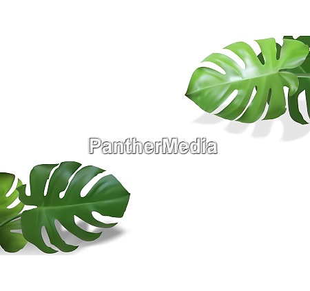 monstera leaves plant background