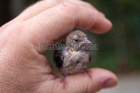 finch chick