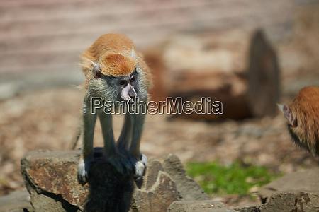 patas monkey erythrocebus patas