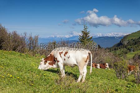 grazing cows on the alpe di
