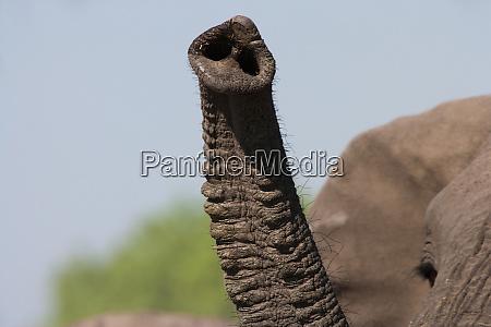 african elephant trunk botswana