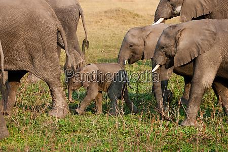 african elephant herd botswana