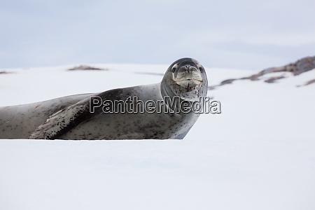 leopard seal antarctica