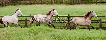 lusitano horses bahia brazil