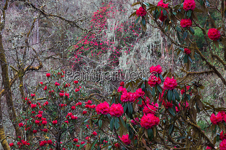rhododendron in bloom in the forests