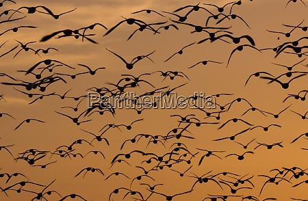 snow geese bosque del apache national