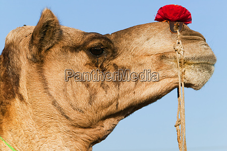 profile of a camel at the