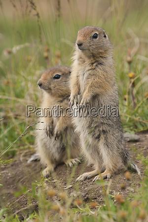 arctic ground squirrels arctic national wildlife