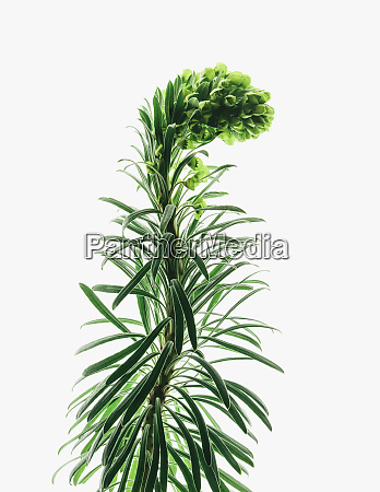 close up of flowering euphorbia plant