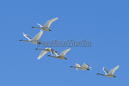 flock of tundra swans flying in