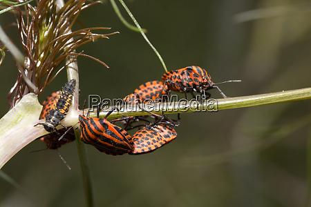 striped bug or minstrel buggraphosoma lineatum
