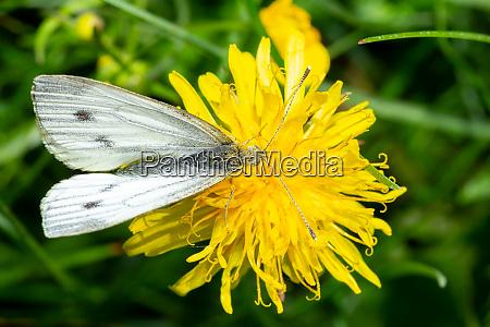 green veined white butterfly on dandelion