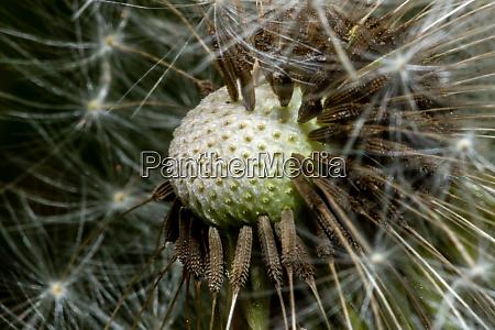 dandelion seedhead with seeds