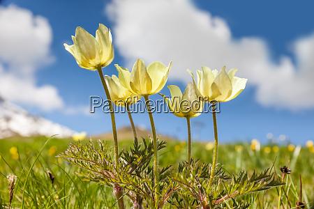 daffodil windmills anemone narcissiflora
