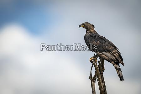 african crowned eagle stephanoaetus coronatus on