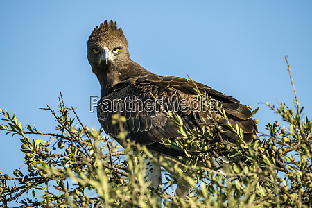 martial eagle polemaetus bellicosus staring at