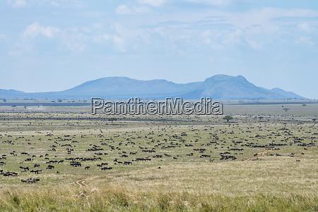 large herd of wildebeest connochaetes taurinus