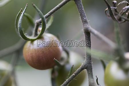 close up tomato ripening on vine