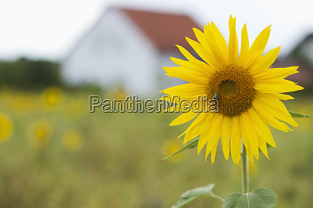sunflower with foraging bee and house