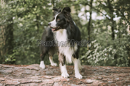 border collie on tree log in
