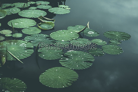 lily pads on pond wuppertal germany