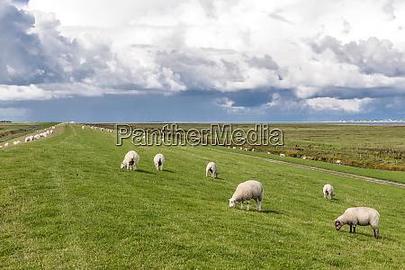 germany hilgenriedersiel grazing sheep on a