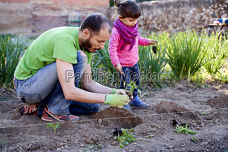 toddler girl helping her father planting